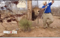 Android, Memes, and Scare: HIP HOP COMM Lion scares the hell out of a zookeeper. 🏃💨🦁Watch Now on WorldStarHipHop.com or download the Worldstar App for iOS or Android Today! Posted by @abdulworldstar WSHH
