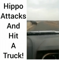 Hippos don't play @pmwhiphop @pmwhiphop @pmwhiphop: Hippo  Attacks  And  Hit  Truck! Hippos don't play @pmwhiphop @pmwhiphop @pmwhiphop