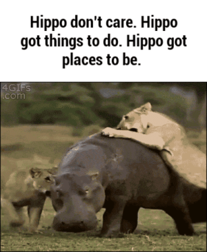 lolzandtrollz:  Hippo Goes Where He Pleases: Hippo don't care. Hippo  got things to do. Hippo got  places to be.  4GIFS  .com lolzandtrollz:  Hippo Goes Where He Pleases