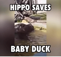This giant hippo is a hero ... 🐤: HIPPO SAVES  BABY DUCK This giant hippo is a hero ... 🐤