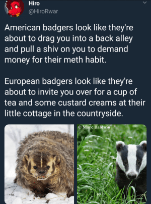 Dank, Memes, and Money: Hiro  @HiroRwar  American badgers look like they're  about to drag you into a back alley  and pull a shiv on you to demand  money for their meth habit  European badgers look like they're  about to invite you over for a cup of  tea and some custard creams at their  little cottage in the countryside.  C Marc Baldwin Badger manners by Mr-Klaus MORE MEMES
