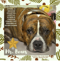 """Being Alone, Andrew Bogut, and Cats: HIS PARENT  DYING, A  BROKEN  HEARTED  GENTLE,  HUMBLE,  PROVEN  FAMILY PET  DREAMS OF  GOING HOME.  My. bears  Id 49995, 7 Yrs., 76 lbs of pure  devotion, Manhattan ACC TO BE KILLED – 12/12/2018  *** MR. BEANS IS OUR HEARTBREAK OF THE HOLIDAY SEASON…PLEASE READ…PLEASE SAVE HIS LIFE – WE ARE BEGGING ***  Sometimes there are those souls who touch our hearts so deeply that we feel our hearts will burst, and that if we begin weeping, we will never stop.  The story of MR. BEANS is one of those tales – straight out of a Dickens novel.  Born in his  home to a parent who adored him and who said their favorite thing about him was that he's """"lovable, humble, and gets along with others,"""" he now lies pancaked to the floor, trembling, shaking, tears literally falling from his eyes as he tries to make himself small, to make the world go away, as he dreams only one dream – the dream of going home.  He literally had to be carried from admissions to his kennel as he urinated on himself in terror.  This is a boy who spent his entire 7 years of life pleasing his parent, sleeping in their bed, learning his commands, and even to """"dance.""""  He would sprawl across his owner's feet to be as close as possible, and he loved to be around, and play with, puppies.  He looked forward to his """"spa days"""" when he got a bath and then would be brushed by his owner with coconut oil.  Friendly, affectionate, outgoing, gentle and mellow, he lies shaken to the core and shattered.   We are begging, seriously begging, for someone to open their home and their hearts to one of life's greatest dogs.  He would be the best of companions, because he has the kindest and gentlest of hearts.  Read what a volunteer writes below, and if your heart is not moved by their words, then it must be of stone.  He is now Rescue Only for being so heartbroken.  Please MESSAGE our page or email us at MustLloveDogsNYC@gmail.com to foster or adopt him now.  We need to get him out of there and he"""