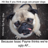 Hit like if you think pugs are proper dogs  Because Issac Payne thinks we're  ugly AF Looks like we've been trolled again by someone who thinks pugs are ugly AF & aren't proper dogs. So if you're a pug lover, why don't you go leave the little boy a message. This is the link to the post - https://www.facebook.com/Archiethepugstar/posts/1811507235759305:0 idiots need to learn not to mess with us pug lovers...😀😀😀