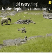 Birds, Elephant, and Baby: Hold everything!  A baby elephant is chasing birds