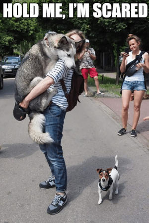 Animals, Funny, and Memes: HOLD ME, IM SCARED 50+ Funny Husky Memes That Will Keep You Laughing For Hours #husky #huskymemes #dogmemes #memes #funnymemes - Lovely Animals World