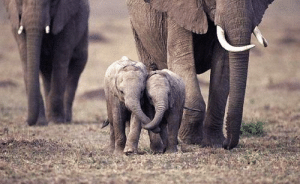 Holding trunks to show affection: Holding trunks to show affection