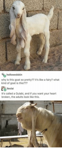 Goat, Heart, and MeIRL: hollowedskin  why is this goat so pretty?? it's like a fairy? what  kind of goat is this???  ileolai  It's called a Gulabi, and if you want your heart  broken, the adults look like this meirl