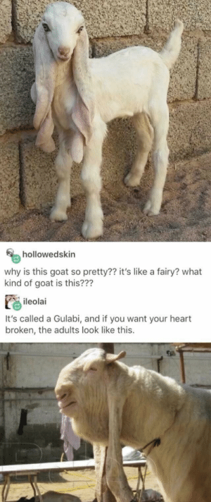 Life….: hollowedskin  why is this goat so pretty?? it's like a fairy? what  kind of goat is this???  ileolai  It's called a Gulabi, and if you want your heart  broken, the adults look like this. Life….