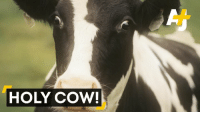 Memes, 🤖, and Cow: HOLY COW! An entire field collapsed around these cows. Their inner monologues must have gone something like this: