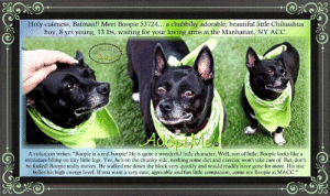 """Being Alone, Animals, and Batman: Holy cuteness, Batman!! Meet Boopie 53724... a chubbiliy adorable, beautiful ittle Chihuahua  boy, 8 yrs young, 13 lbs, waiting for your loving arms at the Manhattan, NY ACC  A volunteer writes: """"Boopie is a real boopie! He is quite a wonderful little character. Well, sort of little. Boopie looks like a  miniature blimp on tiny little legs. Yes, he's on the chunky side, nothing some diet and exercise won't take care of. But, don't  be fooled! Boopie really moves. He walked me down the block very quickly and would readily have gone for more. His size  belies his high energy level. If you want a very cute, agreeable and fun little companion, come see Boopie at MACC."""" **FOSTER or ADOPTER NEEDED ASAP** Holy cuteness, Batman!! <3 Meet Boopie 53724... a chubbiliy adorable, beautiful little Chihuahua boy, 8 yrs young, 13 lbs, waiting for your loving arms at the Manhattan, NY ACC. A volunteer writes: """"Boopie is a real boopie! He is quite a wonderful little character. Well, sort of little. Boopie looks like a miniature blimp on tiny little legs. Yes, he's on the chunky side, nothing some diet and exercise won't take care of. But, don't be fooled! Boopie really moves. He walked me down the block very quickly and would readily have gone for more. His size belies his high energy level. If you want a very cute, agreeable and fun little companion, come see Boopie at MACC.""""<3 Inquire about him now before it is too late!  FOR a New Family to Know:  Boopie is a very active pup who loves to play, run around with his buddies & take a good nap afterwards. Boopie is well behaved when left alone at home, & is also very good at notifying you for when he needs something & his previous owner mentioned that if Boopie needs to go outside, he will come to you, begin to bark & motion towards the door. He is such a good little boy <3.   VIDEO:  Boopie is telling you 'Please take me home <3' https://www.facebook.com/watch/?v=741044679630452  ✔Pledge✔Tag✔Share✔FOS"""