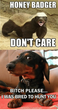 HONEY BADGER  DON'TCARE  BITCH PLEASE.  IWAS BRED TO HUNT YOU  lebritydachshund.com Lol