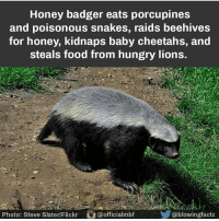Honey badger eats porcupines  and poisonous snakes, raids beehives  for honey, kidnaps baby cheetahs, and  steals food from hungry lions.  Cablowingfactz  Photo: Steve SlaterlFlickr officialmbf ThugLife