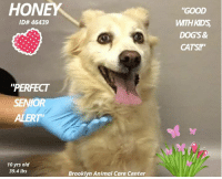 "Andrew Bogut, Cats, and Children: HONEY  GOOD  WITH KID'S  DOG'S&  CATS!  ID# 46439  ""PERFECT  SENIOR  ALERT  10 yrs old  39.4 lbs  Brooklyn Animal Care Center 10-Year Old. Perfect Senior BETRAYED when her family decided to move and she was not welcome to come along. ..GOOD WITH KIDS, DOGS, CATS.. Honey loves to be pampered with baths & brushed... Knows commands, This sweet girl lives up to her name for she is oh so sweet and will smooth her way right into your heart and soul  just like honey. Honey's life started  as a puppy in a shelter  . Please don't let it end in one. Hurry for surely time is running out....    Honey ID# 46439   BROOKLYN ANIMAL CARE CENTER  10 years old Female, Spayed, Blonde Weight: 39.4 lbs.  Owner Surrender  Reason: due to her previous owner moving and being unable to take her with them Intake Date: 11-04-2018  OWNER PROFILE:  This animal came from: Other Shelter  Spay/Neuter Status Spayed  Basic Information: Honey is a 10 year old white/blonde medium mixed breed. She was brought into QACC due to her previous owner moving and being unable to take her with them. The previous owner got Honey from a shelter and had her form 8 weeks old.  Previously lived with: 1 adult  How is this dog around strangers? Honey is shy and will bark at strangers first, but will warm up quickly and allow them to approach her and pet her.  How is this dog around children? Honey has frequently been around a child from birth to 3 years old. She is very gentle and playful, but is protective of the child and will watch over her when other people are around.  How is this dog around other dogs? Honey is very relaxed and gentle around other dogs. She spent about 3 weeks with a smaller puppy and would hide from it because the puppy was very playful.   How is this dog around cats? Honey is very relaxed and gentle around cats. She spent a year with a kitten and was not bothered by or interested in it.  Resource guarding: Honey allows people to touch her food, treats, and toys while she has them with no issues.   Bite history: Honey has never attempted to bite or scratch any human or animal.  Housetrained: Yes  Energy level/descriptors: Medium  Other Notes: Honey loves baths and being brushed and groomed, but will run away if you try to groom her nails or paws. She is friendly when a stranger approaches her family members, but will bark if they approach her or her space. Honey has not been allowed on the furniture.  Has this dog ever had any medical issues? No  Medical Notes No known medical concerns.  For a New Family to Know Honey is a friendly, mellow, and independent dog who love to be pampered with baths and brushing. She has a medium energy level; and is not a huge fan of toys, but will play fetch and tug with you. Honey eats Alpo dry dog food twice a day, and her favorite treat is Milkbones. She is house trained and primarily an indoor dog, but loves to spend most of her time outside in the summer. She will bark when she wants to go outside or be let inside. She was crate trained as a puppy but has not needed to use it since she was a puppy. When walking her on leash she will pull very hard against it, and when she is off leash she will wander around until called. Honey knows the commands sit and down.  BEHAVIOR NOTES   Honey came into QACC with relaxed body posture. She had to stay outside due to a very excited dog in the lobby that was lunging for her as soon as she was seen through the window. Honey looked at the other dog but remained having loose body posture. Her tailed moved to between her legs when the other dog noticed her and started barking. Once Honey was able to come into the lobby, she sniffed and looked around the lobby for a moment before standing next to her previous owner. Honey allowed the counselor to approach her, pet her, and scan her for a microchip. She remained there for the entirety of processing. She remained having the low tail position and her ears were down. Honey allowed the counselor to approach her, pet her again, and leash and collar her. Once her previous owner left, she was brought into the dog holding room where she began moving quickly, trying to get away from the loud barking of the dog from earlier. She allowed the counselor to put her in the kennel where she has laid quietly since.  Means of surrender (length of time in previous home): Owner surrender  Previously lived with: 1 adult  Behavior toward strangers: Shy at first, warms up after a few minutes and becomes friendly.  Behavior toward children: Gentle and playful  Behavior toward dogs: Relaxed and gentle  Behavior toward cats: Relaxed and gentle  Resource guarding: None reported  Bite history: None reported  Housetrained: Yes  Energy level/descriptors: The owner describes Honey as friendly, mellow and independent with a medium activity level.  SAFER SCORES:  Date of assessment: 6-Nov-2018  Look: 2. Dog pulls out of Assessor's hands each time without settling during three repetitions.  Sensitivity: 1. Dog leans into the Assessor, eyes soft or squinty, soft and loose body, open mouth.  Tag: 1. Dog follows at the end of the leash, body soft.  Paw squeeze 1: 1. Dog gently pulls back his/her paw.  Paw squeeze 2: 1. Dog gently pulls back his/her paw.  Toy: 1. Minimal interest in toy, dog may smell or lick, then turns away.  Summary:  Honey came into the assessment room calm and quiet, she was a bit shy but friendly towards the handlers.  Summary (1):  Honey's previous owner reported that she is relaxed around other dogs but when around a playful puppy, she avoids him.   11/5: When off leash at the Care Center, Honey was introduced to few different male dogs. She tolerated a younger, pushy, playful dog by just walking away and was soft and social with a more nervous dog, respecting his space.   11/6-7: In a group of calm male and female dogs, Honey is respectful and mostly keeps to herself. She quickly moves away from sexually motivated males.   Date of intake: 4-Nov-2018 Summary: Relaxed and allowed all handling.  ENERGY LEVEL:  Honey displays a medium activity level in the care center.  BEHAVIOR DETERMINATION:  AVERAGE (suitable for an adopter with an average amount of dog experience)  MEDICAL EXAM NOTES   pending  http://www.nycacc.org/adopt/honey-46439  We want to get the dogs seen early to better their chances of survival, we will no longer wait for detailed information like owner surrender notes, Safers and volunteer write ups - but please check back frequently as we will add all if this information as we get it. THANX IN ADVANCE!  *** TO FOSTER OR ADOPT ***  If you would like to adopt a NYC ACC dog, and can get to the shelter in person to complete the adoption process, you can contact the shelter directly. We have provided the Brooklyn, Staten Island and Manhattan information below. Adoption hours at these facilities is Noon – 8:00 p.m. (6:30 on weekends)  If you CANNOT get to the shelter in person and you want to FOSTER OR ADOPT a NYC ACC Dog, you can PRIVATE MESSAGE our Must Love Dogs page for assistance. PLEASE NOTE: You MUST live in NY, NJ, PA, CT, RI, DE, MD, MA, NH, VT, ME or Northern VA. You will need to fill out applications with a New Hope Rescue Partner to foster or adopt a NYC ACC dog. Transport is available if you live within the prescribed range of states.  Shelter contact information: Phone number (212) 788-4000 Email adopt@nycacc.org  Shelter Addresses: Brooklyn Shelter: 2336 Linden Boulevard Brooklyn, NY 11208 Manhattan Shelter: 326 East 110 St. New York, NY 10029 Staten Island Shelter: 3139 Veterans Road West Staten Island, NY 10309"