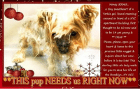 Animals, Desperate, and Dogs: Honey s0065.  a tiny sweetheart of a  Yorkie gal, found roaming  around in front of a NYC  apartment building, first  thought to be 10 now said  to be 14 yrs young &  DEAF  Please, please, open your  heart & home to this  precious little nugget &  inquire about her now,  before it is too late! This  darling little ole lady waits  for you to save her life at  the Brooklyn, NY ACC  Tpup NEEDS us RIGHT NOW **FOSTER or ADOPTER NEEDED ASAP**  NYC **THIS pup NEEDS us RIGHT NOW** Honey 50065... a tiny sweetheart of a Yorkie gal, found roaming around in front of a NYC apartment building, first thought to be 10 now said to be 14 yrs young & DEAF ... Please, please, open your heart & home to this precious little nugget & inquire about her now, before it is too late! This darling little ole lady waits for you to save her life at the Brooklyn, NY ACC.  ✔Pledge✔Tag✔Share✔FOSTER✔ADOPT✔Save her life!  Honey fka Estrella 50065 Small Mixed Breed Sex female Age 14 yrs (approx.) - 11 lbs My health has been checked.  My vaccinations are up to date. My worming is up to date.  I have been micro-chipped.  I am waiting for you at the Brooklyn, NY ACC. Please, Please, Please, save me!  Date Found: 12/8/2018 Found Location: In front of building on Sackman Street, Brooklyn, NY, 11212  ****************************************** To FOSTER or ADOPT,  SPEAK UP NOW & Save a Life:  Direct Adopt from the ACC Or Apply with rescues Or Message Must Love Dogs - Saving NYC Dogs for assistance ASAP!!! ****************************************** The general rule is to foster you have to be within 4 hours of the NYC ACC approved New Hope partner rescues you are applying with and to adopt you will have to be in the general NE US area; NY, NJ, CT, PA, DC, MD, DE, NH, RI, MA, VT & ME (some rescues will transport to VA).  =================================  DVM Intake Exam Estimated age: 10-14 years Microchip noted on Intake? positive  History: stray  Observed Behavior - Did not like excessive handling.  Evidence of Cruelty seen - no Evidence of Trauma seen - no EENT: Eyes have nuclear sclerosis and some dried d/c, ears clean, no nasal discharge noted but nasal planum is thickened and peeling Oral Exam: severe dental disease, resistant to oral exam PLN: No enlargements noted H/L: NSR, Grade 4/6 HM, CRT < 2, Lungs clear, eupneic ABD: Non painful, no masses palpated U/G: FI, no MGTs, no vulvar d/c MSI: Ambulatory x 4, skin free of parasites, warty type mass on dorsal neck, diffuse thinning of hair with matting and legs and overgrown nails CNS: mentation appropriate - no signs of neurologic abnormalities, visual Assessment: Geriatric-Severe dental disease-Grade 4/6 HM-Matted Plan: Continue to monitor while at BACC-Shaved legs and trimmed nails-Rec follow up with rDVM for echocardiogram, AUS, repeat BW +/- dental  SURGERY: permanent waiver due to age ... NOTE: *** WE HAVE NO OTHER INFORMATION THAN WHAT IS LISTED WITH THIS FLYER *** - For more information or to adopt, please EMAIL adopt@nycacc.org  - SUBJECT Line: ** Dogs Name & ID# **  - Don't forget to add your email address and phone numbers where they can reach you to your email as well. .... RE: ACC site Just because a dog is not on the ACC site does not mean they are safe by any means. There are many reasons for this like a hold or an eval has not been conducted yet or the dog is rescue-only... the list goes on... Please, do share & apply to foster/adopt these pups as well until their thread is updated with their most current status. TY!  ============ Shelter address ========== - Brooklyn Shelter: 2336 Linden Boulevard, Brooklyn, NY 11208  - Phone number: 212-788-4000 (is automated only) Operating hours: Monday through Friday 12.00pm to 8.00pm, Saturday & Sunday: 10.00am to 6.00pm. Closed on all Holidays. =================================  == About Must Love Dogs - Saving NYC Dogs == We are a group of advocates (NOT a shelter NOR a rescue group) dedicated to finding loving homes for NYC dogs in desperate need. ALL the dogs on our site need Rescue, Fosters, or Adopters & that ASAP as they are in NYC high-kill shelters. If you cannot foster or adopt, please share them far & wide. Thank you for caring!! <3 ================================ ++++ https://nycaccpets.shelterbuddy.com/animal/animalDetails.asp?task=search&s=found&animalType=3%2C16&datelostfoundmonth=9&datelostfoundday=5&datelostfoundyear=2017&tpage=1&submitbtn=Find+Animals&searchType=2&animalid=89173 Beamer Maximillian Susan Klingbeil Carolin Hocker Caro Hocker Wendy Frohlich Caldwell Jody Harris-Stern Michele St Laurent Robyn Urman