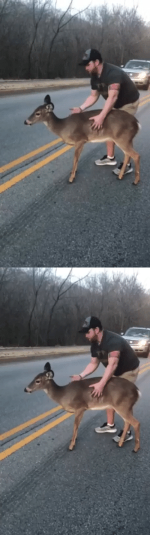 hooman helps scared deer cross the road (via): hooman helps scared deer cross the road (via)