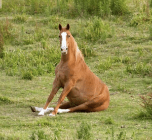 Horse sitting down: Horse sitting down
