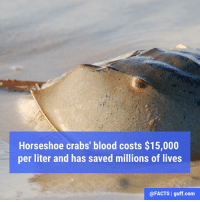 Horseshoe crab blood contains cells that quickly coagulate around bacteria. Because of this fast reaction, the crab blood is used for testing medical equipment and vaccines before use.: Horseshoe crabs' blood costs $15,000  per liter and has saved millions of lives  @FACTS I guff com Horseshoe crab blood contains cells that quickly coagulate around bacteria. Because of this fast reaction, the crab blood is used for testing medical equipment and vaccines before use.