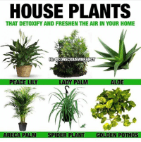 Memes, Phenomenal, and Spider: HOUSE PLANTS  THAT DETOXIFY AND FRESHEN THE AIR IN YOUR HOME  IG:OCONSCIOUSVIBRANCcY  DY  ALOE  ARECA P  SPIDER PLANT  GOLDEN POTHOS Plants are an attractive addition to any home. But dig a little deeper beneath their beauty and you'll discover that the benefits of interior landscaping go far beyond the aesthetic. Most of us know instinctively that being close to greenery makes us feel more at ease with our surroundings. We experience less stress when there are plants around us. Buildings are quieter and more relaxed but, at the same time, more stimulating and interesting. A substantial body of academic research, has shown conclusively that interior landscaping has dramatic effects on the wellbeing of building occupants. When you breathe, your body takes in oxygen and releases carbon dioxide. During photosynthesis, plants absorb carbon dioxide and release oxygen. This opposite pattern of gas use makes plants and people natural partners. Adding plants to interior spaces can increase oxygen levels. Lady Palm: Best houseplant (requiring less maintenance) to resist pests at home. Aloe: This sun-loving houseplant will help clear common VOC's like formaldehyde and benzene. Areca Palm: An adorable option to decorate your home, however, also highly effective to get rid of airborne toxins. Spider Plant: A great air purifier that fights off VOC's, carbon monoxide, and xylene, which incorporates chemically-related hydrocarbons used by leather, rubber, and printing firms. It's also safe for pets at home. Peace Lily: It eliminates alcohol, acetone, trichloroethylene, benzene, and formaldehyde from indoor air, and evokes a romantic feeling in your room. Golden Pothos: Consider it also as a phenomenal option to plant outdoors, maybe your garage, because it can battle formaldehyde which is a major content of car exhaust. Rubber Plant: It specifically removes the presence of formaldehyde from indoor air. Janet Craig: As cool as it sounds, this houseplant will help ease off your indoor air by eliminating trichloroethylene. It is another low maintenance option with attractive features. Disclaimer: if you have pets at home be sure to check if each plant is pet friendly. Consciousvibrancy