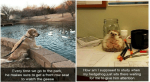 Have some faith in humanity, people! These animal stories will put an instant smile on your face, even if it's just for a few minutes.#animals #animalmemes #wholesomemems #funnyanimals #cuteanimals # faithinhumanity: How am I supposed to study when  my hedgehog just sits there waiting  for me to give him attention  Every time we go to the park,  he makes sure to get a front row seat  to watch the geese Have some faith in humanity, people! These animal stories will put an instant smile on your face, even if it's just for a few minutes.#animals #animalmemes #wholesomemems #funnyanimals #cuteanimals # faithinhumanity