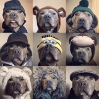 """Cute, Memes, and Blue: How cute is this little fella? . Which one is your favourite ?  Please comment below .. Courtesy of Bluey the blue brindle  Please """"SHARE"""" guys【ツ】!!! #Staffies"""