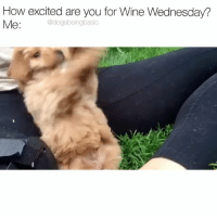 Bloods, Memes, and Wine: How excited are you for Wine Wednesday?  Me:  @dogsbeingbasic Just want my blood to be flowing with vino. Volume on because @bourbonthebabydog is a nugget. Pup @bourbonthebabydog