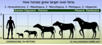 prikle: ssjgssjgoku:  everets:  this is so sad… look what evolution has done. why? why did horses have to get big  They are still growing  the first horse…….. was human : How horses grew larger over time.  1- Hyracotherium, 2 - Mesohippus, 3- Merychippus, 4-Pliohippus, 5 - Hipparion.  Eocene Oligocene Miocene  Pliocene Pleistocene  2  4  2  0  DIMENSIONS IN METERS  ⓒ wwww.prehistoric-wildlife.com prikle: ssjgssjgoku:  everets:  this is so sad… look what evolution has done. why? why did horses have to get big  They are still growing  the first horse…….. was human