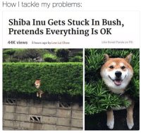 bush: How I tackle my problems  Shiba Inu Gets Stuck In Bush,  Pretends Everything Is OK  44K vieWs  5 hours ago by Low Lai Chow  Like Bored Panda on FB: