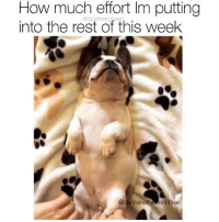 Friday, Memes, and Lying: How much effort Im putting  into the rest of this week  @dogsbeingasi Ugh is it Friday yet? I will be lying here til Saturday. Pup @pancakethefrenchiee