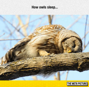 Tumblr, Blog, and Http: How owls sleep..  THE META PICTURE lolzandtrollz:  Oh, So This Is How They Do It