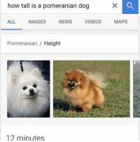 *clever pun*: how tall is a pomeranian dog  ALL  IMAGES NEWS VIDEOS MAPs  Pomeranian  Height  12 minutes *clever pun*