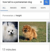 News, Videos, and Images: how tall is a pomeranian dog  ALL IMAGES NEWS VIDEOS MAPS  Pomeranian / Height  12 minutes