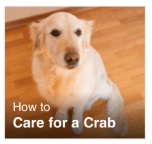 How To, How, and Crab: How to  Care for a Crab