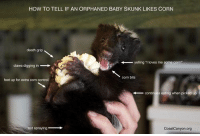 """baby skunk: HOW TO TELL IF AN ORPHANED BABY SKUNK LIKES CORN  death grip  yelling """"I loves me some conr  claws digging in  corn bits  feet up for extra corn control  Conti  eating when pi  t spraying  CoastCanyon.org"""