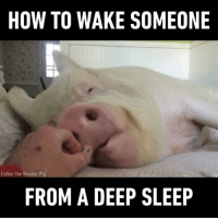 Tag someone who looks like this piggy. Follow @gag🐷 App📲👉@9gagmobile 👈 9gag (📹 @estherthewonderpig) sleepy foodie instapig: HOW TO WAKE SOMEONE  Esther the Wonder Pig  FROM A DEEP SLEEP Tag someone who looks like this piggy. Follow @gag🐷 App📲👉@9gagmobile 👈 9gag (📹 @estherthewonderpig) sleepy foodie instapig