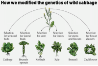 Memes, Kale, and Sprouts: How we modified the genetics of wild cabbage  Selection  Selection  Selection  Selection  Selection  Selection  for flower  for terminal for lateral  for stem  for leaves  for stems  buds  and flowers  clusters  buds  Cabbage  Brussels  Kohlrabi  Kale  Broccoli  Cauliflower  sprouts