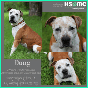 Dogs, Doug, and Memes: HS MC  www.hsomc.org  989-835-1877  HUMANE SOCIETY OF MIDLAND COUNTY  Forever begins here  Doug  3 years Neutered Male  American Bulldog/Cattle dog mixi  Transferred from fit Worth T All dogs/puppies in our shelter can be viewed here. Any dog not being held as a stray is available for immediate, same-day adoption! Adoption applications are reviewed on site. Please share our dogs and help get them out of the shelter as quickly as possible! **PLEASE NOTE** Placing an application on a dog featured in this album does NOT hold the dog for you. All available dogs are available to be met and adopted same day if already altered. If not altered, the dog can be met and paid for in order to hold the dog for you. Thank you for your understanding!