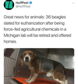 36 Beagles finally get their own loving homes! 3: HuffPost  @HuffPost  Great news for animals. 36 beagles  slated for euthanization after being  force-fed agricultural chemicals in a  Michigan lab will be retired and offered  homes. 36 Beagles finally get their own loving homes! 3