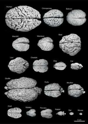 "Brains, Tumblr, and Goat: Human  Chimpanzee  Baboon  Bear  Mandrill  Macaque  Lion  Cheetah  Dog  Cat  Giraffe  Kudu  Mouflon  Goat  Walaby  Peccary  Rabbit  Rat  Mouse  5 cm egosumdaniel-od:  Variability of brain size in different mammals. You can also see how the folding of the cerebral hemispheres varies between different species. Curiously, larger brain size and more folding do not correlate with ""higher"" brain functions. There is also the misconception that brains have gotten progressively larger through evolution. But in fact brain size varies a lot, as you can see, and does not recapitulate evolutionary history. Brain size is not even well correlated with variations in body size. The brain of a pygmy shrew weighs about 0.060 g, while that of a blue whale weighs close to 7 kg. For comparison, the brain of a mouse - the smallest brain in the image above - weighs about 0.5 g, and our brains weigh more or less 1-1.5 kg. Yet proportional to body size, the pygmy shrew has the ""bigger"" brain. Conversely, the thickness of the cerebral cortex, the outer convoluted layer of the hemispheres where much of the brain's ""computing power"" lies, varies very little between different mammals. In the pygmy shrew it's about 0.4 mm thick and in the blue whale it's less than 2 mm.  Source: DeFelipe, J. (2011). The Evolution of the Brain, the Human Nature of Cortical Circuits, and Intellectual Creativity Frontiers in Neuroanatomy, 5 DOI: 10.3389/fnana.2011.00029"