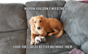 My goldie really likes socks. And licking toes.: HUMAN YOU DON'T NEED THESE  YOUR TOES TASTE BETTER WITHOUT THEM My goldie really likes socks. And licking toes.