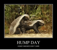 HUMP DAY  HONEY BADGER DONT CARE LOL. HoneyBadgerLoves don't give a flying hootenanny~ as we can see, they have better things to do. LOL  MySockMonkeyShouldLiveOnTheIsleOfMisfitToys