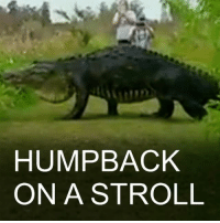 "Memes, Social Media, and Alligator: HUMPBACK  ON A STROLL 17 JAN: A huge alligator nicknamed ""Humpback"" has been caught on camera taking a leisurely stroll in Florida. Local resident Kim Joiner posted the video on social media. Humpback Alligator Florida Wildlife BBCShorts BBCNews @BBCNews"