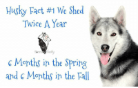 Yup!  Meme courtesy of Forever Husky #dvshr  #itsahuskything: Husky Fact #1 We Shed  Twice A Year  husky  6 Months in the Spring  and 6 Months in the Fall Yup!  Meme courtesy of Forever Husky #dvshr  #itsahuskything