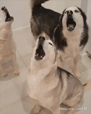 Club, Dank, and Funny: husky.trio trae IG We sing better than you, hooman! By The Husky Trio Chronicles  Join The Barked Club for more funny dog videos!