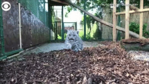 kicksandscribbles:  thenatsdorf: Squeaky leopard cubs. (via TheBigCatSanct) [press play to here cubs squeak]  : HUTOBICAT SANCTUARY kicksandscribbles:  thenatsdorf: Squeaky leopard cubs. (via TheBigCatSanct) [press play to here cubs squeak]