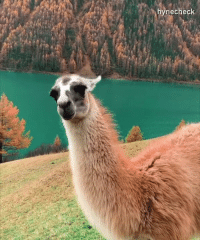 Beautiful, Dank, and Italy: hynecheck Guanaco enjoying beautiful scenery in Italy.  By hynecheck | IG