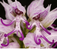 "Memes, 🤖, and Species: i.争  ""...ero This is one flower that likes to let it ALL hang out. Seriously, though, someone get this orchid a towel or something. Orchis italica, otherwise known as the ""Naked Man Orchid,"" can be found in the Mediterranean, probably hanging out at a nude beach. They flower from late March to April, preferring to bloom in areas that are partially shaded. The blooms can be anywhere from white to pink and Orchis italica is considered a threatened species because people keep taking these birthday-suited flowers for their own private (read: sexy) collections."