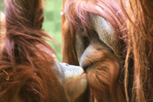 Thought, Zoo, and Human: I always thought showing affection through kissing was exclusively human behaviour, until I witnessed this moment between two orangutans at a zoo