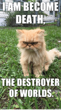 Angry cat has charged to full power.: I AM BECOME  DEATH  THE DESTROYER  OF WORLDS  made on imgur Angry cat has charged to full power.