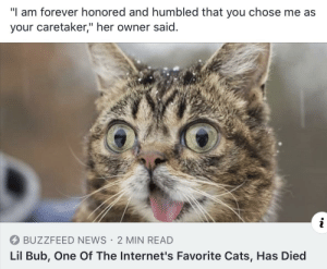 """Rip Lil Bub: """"I am forever honored and humbled that you chose me as  your caretaker,"""" her owner said.  BUZZFEED NEWS 2 MIN READ  Lil Bub, One Of The Internet's Favorite Cats, Has Died Rip Lil Bub"""