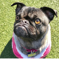 "Memes, Pugs, and Beautiful Girls: ""I am pretty sure this beautiful girl @khloe_pug is my long lost sister. ❤"" -Ozzy http://ift.tt/2hWKjv0"